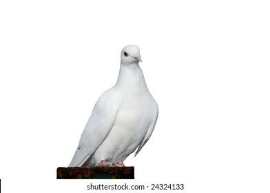 White dove isolated on white