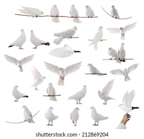 white dove isolated on a white background