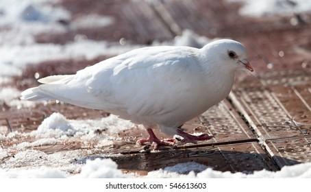 white dove in nature in winter