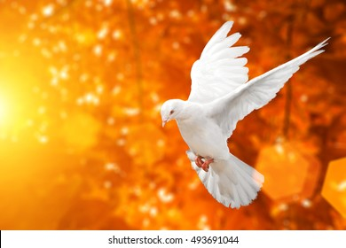 White dove on Blur Orange and red maple leaf on the tree and flare light in autumn background