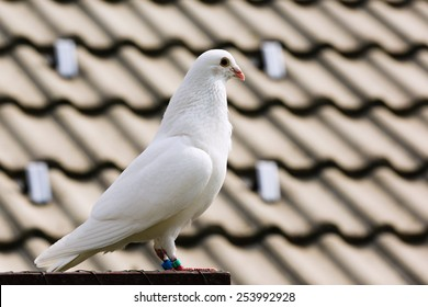 White dove on a breeding cage, peace symbolism
