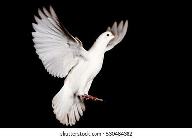 white dove of peace flying on a black background,pigeon, mail, good news, peace