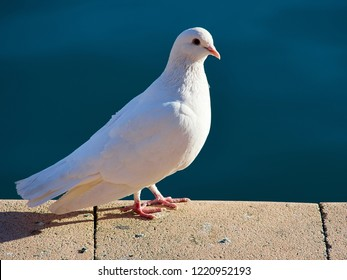 White dove pigeon standing on stone structure - symbol of peace and good news