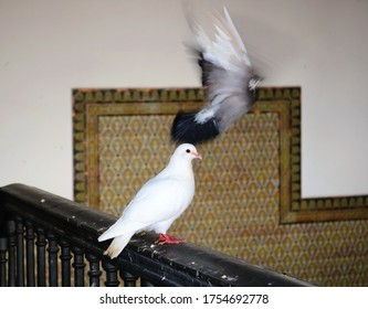 white dove standing in a interior railing and black pigeon flying with the wings open - beautiful scene with a couple of birds
