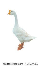 White duck isolated on white background.