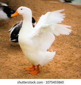 White Duck at Pond
