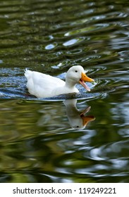 White duck reflected in the lake