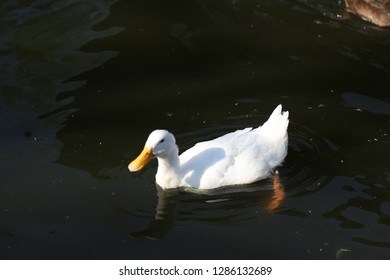 white duck in the river