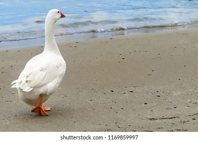 White Duck. Single white duck walking on an empty beach. Stock Image.
