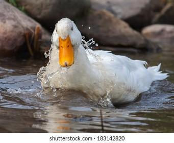 White duck splashing near rocks in a lake