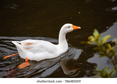 A white duck swimming in the green pond
