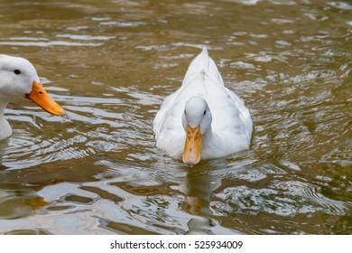 white duck in water, duck breeds