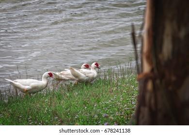 White ducks.