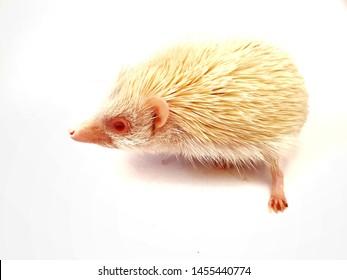 White dwarf porcupine white dwerf batting petdwart porcupine
