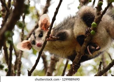 A white ear opossum (Didelphis albiventris) on a tree.