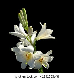White Easter Lily flower isolated on black background  (Lilium longiflorum)