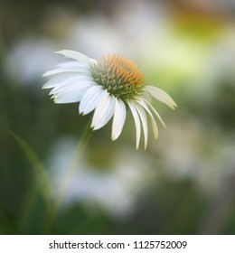 White echinacea or coneflower with a dreamy look