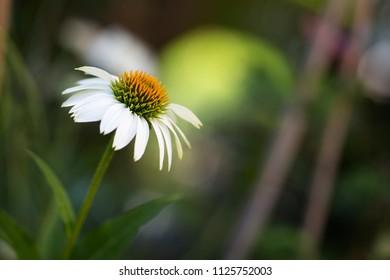 White echinacea or coneflower in the garden