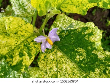 White eggplant flowers are purple, green leaves are yellow spots, flourish and fresh in the garden