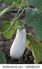 White Eggplant on Plant