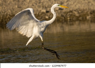 White egret (Ardea alba) egret catching fish on the river in shallow water, natural habitat, wild bird