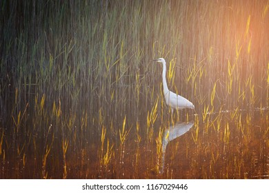 White egret ,Ardea alba, in early morning on the lake with sunlight