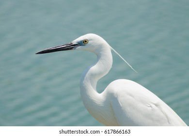 The white egret bird head with the long bill