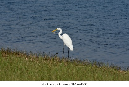 a white egret eating baby turtle at state park
