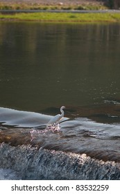 A white egret fishing on a river in Kyoto, Japan.