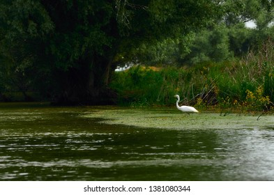 White egret looking for fish in the Danube Delta at the river shore in green waters next to the bushes