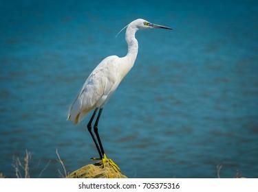 White egret on the stone