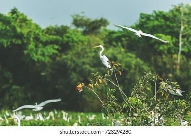 White egret on a tree branch in Pantanal, Brazil. Bird also known as Garca-Branca-Grande in Brazil.