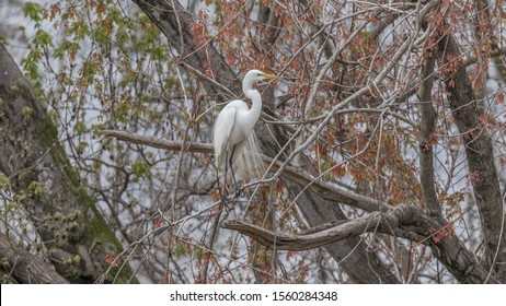 White egret perched on a brach against red leaves in breeding plumage