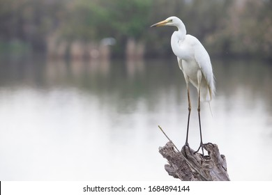 White Egret perched on a log in a pond first thing in the morning.