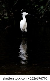 White egret reflecting in the water of the River Dodder