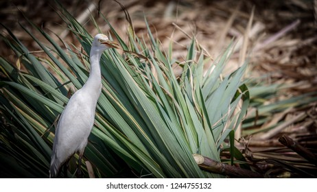 A white egret searching for food  in the farm during cutting of suger cane