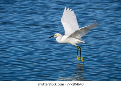 White egret standing flying over the blue water of a pond, Don Edwards Wildlife Refuge, San Francisco bay area, California