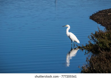 White egret standing in shallow water, surrounded by the blue water of a pond, Don Edwards Wildlife Refuge, San Francisco bay area, California