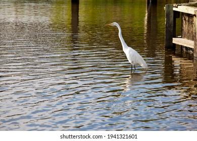 Les aigrettes blanches sont communes dans le marais et les marais des rives extérieures de Caroline du Nord