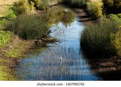White Egrets Green Reeds In Water Slough Near Davis California