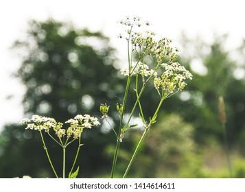 White Elder grounds in bloom