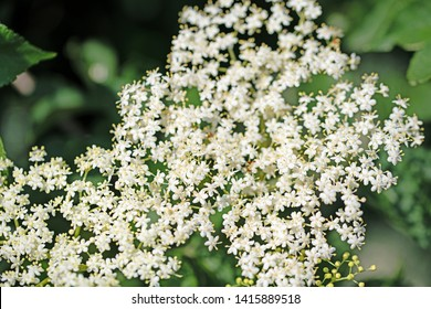 White elderflowers in the spring