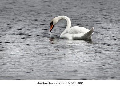 white elegant swan swimming on the water