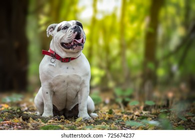 White English Bulldog in the forest