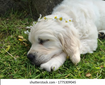 white English cream golden retriever puppy sleeping with daisy chain garland