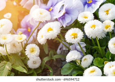 White English daisies or Bellis perennis pomponette with blurred background in the garden.