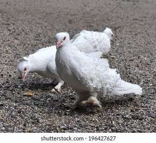 white english pigeon