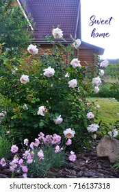 White english rose bush in the garden in front of the country house