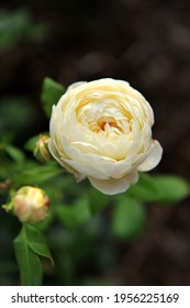 White English shrub rose (Rosa) Claire Austin blooms in a garden in August