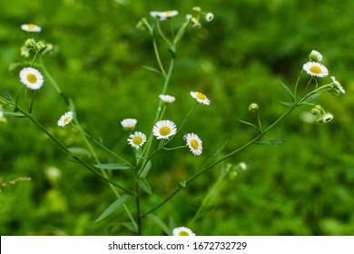 white Erigeron annuus flowers in natural environment